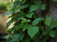 Natural poison ivy and poison oak remedies