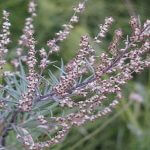 Medicinal uses for mugwort herb